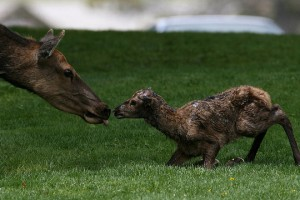 newborn-elk-Jim-Peaco-YNP-2010