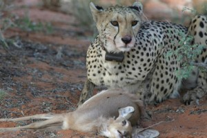 la-sci-sn-cheetah-puma-carnivore-behavior-pred-001
